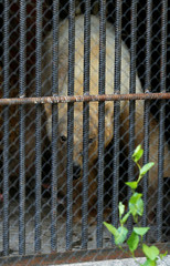 A female polar bear, which was found stray in the industrial city of Norilsk, looks out of a quarantine cage after arriving at the zooinKrasnoyarsk