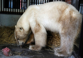 A female polar bear, which was found stray in the industrial city of Norilsk, eats meat inside a quarantine cage after arriving at the zooinKrasnoyarsk