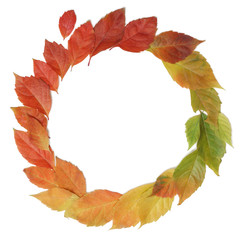 Autumn leaves rainbow color gradient circle composition isolated on white.