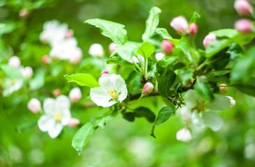 Apple blossom flowers in a spring graden
