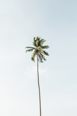 Lonely one tropical exotic coconut palm tree against big blue sky. Neutral background. Summer and travel concept on Phuket, Thailand.