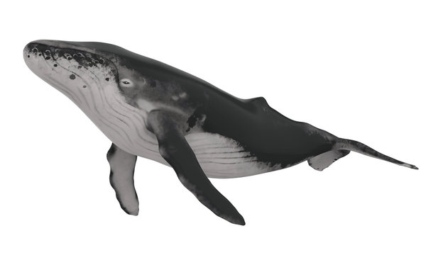 Whale Isolated