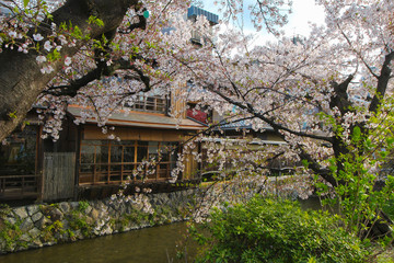 Cherry Blossoms in Gion District, Kyoto, Japan, in Asia