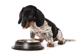Miniature piebald dachshund with a water bowl