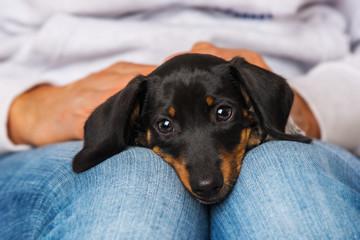 Cute dachshund puppy lying on human knees