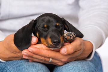 Cute dachshund puppy sleeping on human knees