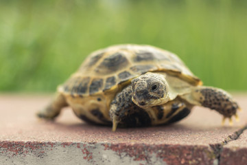 The Central Asian tortoise, also known as the brown Asian tortoise, walks along a red stone pavement and looks around with interest. blurred green plants in the background