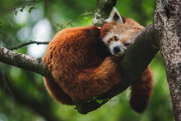 Tuinposter Panda Red Panda in Tree