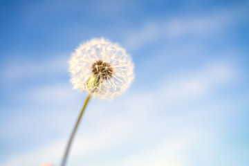 Canvas Prints Dandelion Happy Dandelion in the blue sky in the morning