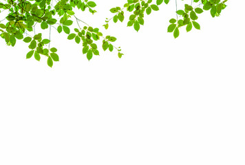 Isolate leaf on the white background. Green leaf for background. Text space. Wall mural
