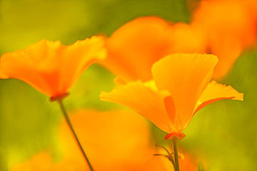 Californian poppy, closeup of the flower in back lighting