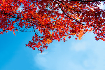 beautiful japanese red maple with blue sky autumn background with copy space