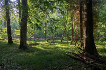 Fototapete - Light entering rich deciduous forest