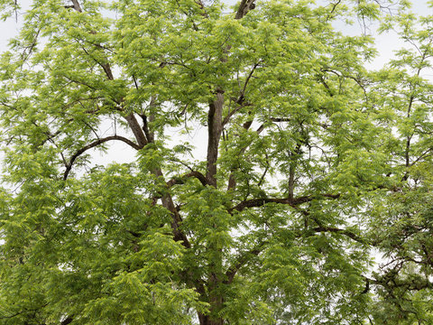 Noyer noir d'Amérique (Juglans nigra)