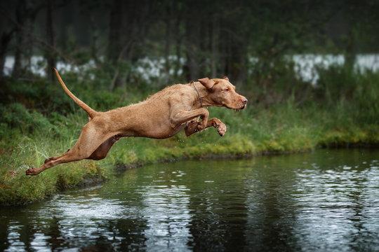 Beautiful dog Vizsla jumping into the water