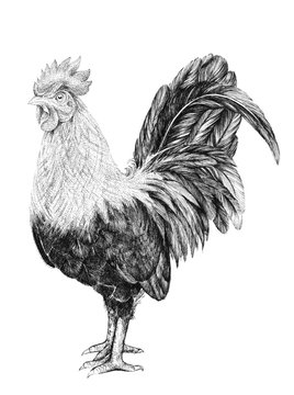 Drawing of a rooster, a rooster with a comb and a tail