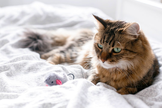 Maine coon cat playing with mouse toy on white bed in sunny stylish room. Cute cat with green eyes lying and playing with with funny emotions on comfortable bed. Space for text