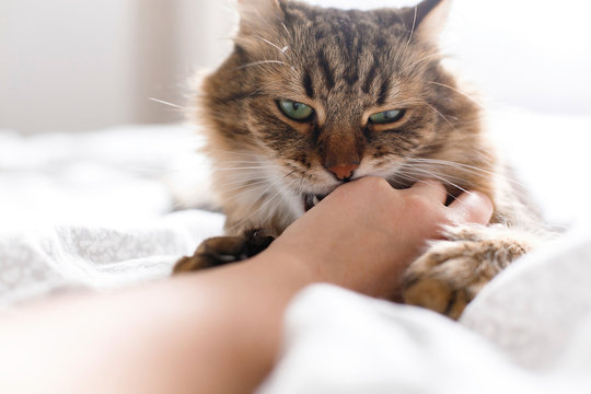 Maine coon cat lying on white bed and biting owner hand in sunny bright stylish room. Cute cat with green eyes and with funny angry emotions playing with hand. Space for text