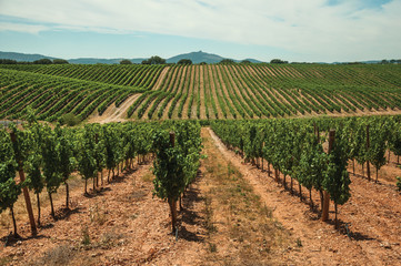 Parallel vines going up the hill in a vineyard near Estremoz