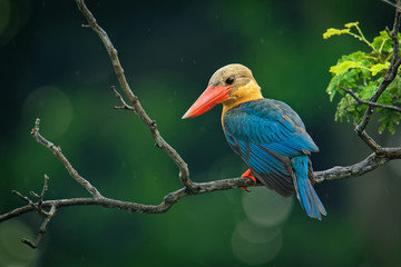 Stork-billed Kingfisher (Pelargopsis capensis) - tree kingfisher distributed in the tropical Indian subcontinent and Southeast Asia, from India to Indonesia - Singapore, Malaysia Fototapete