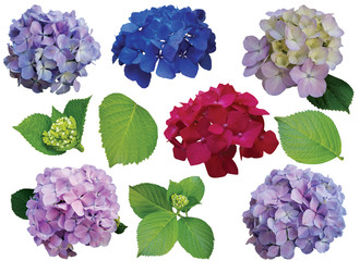 collection of hydrangea flowers isolated on white