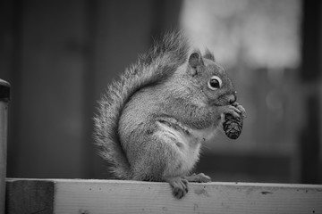 back and white picture of squirrel eating Nuts on wooden bar