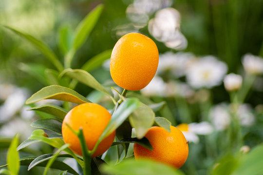 Yellow kumquat fruit still on branch
