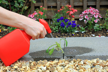 Hand |Spraying Weed Killer Onto A Weed Growing Between Paving Stones