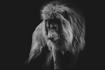 In de dag Leeuw black and white dark portrait of a African lion