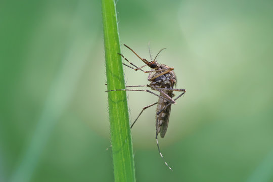Mosquito resting on the grass. Male and female mosquitoes feed on nectar and plant juices, but many species of mosquitoes can suck the blood of animals.
