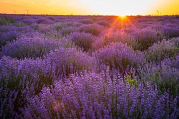 Printed kitchen splashbacks Eggplant Purple blossoming lavender in the fields