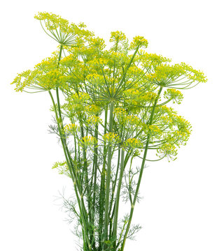 Dill isolated on white.