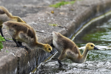 canada goose goslings jumping into lake