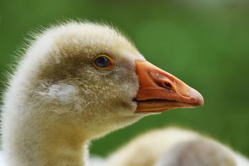domestic goose gosling head