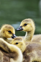 family of canada goose goslings