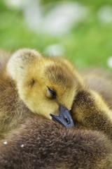 canada goose gosling sleeping