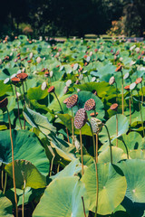 Lotus seed capsules in a park