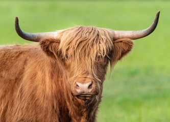 Foto op Canvas Koe A close up photo of a Highland Cow