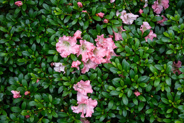 Nature background of blooming azalea bush with coral colored flowers