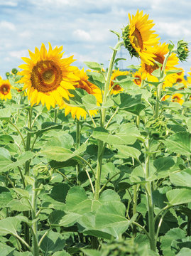 Ripe sunflowers in the field. beautiful countryside in summer. sunny weather with high clouds in the distance.