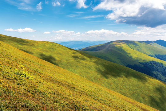 wonderful summer landscape in mountain. green grassy slopes of alpine meadows covered in european blueberry plant beneath a blue sky with fluffy clouds. sunny weather. wonderful weekend