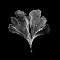 Hand drawn Ginkgo Biloba leaf on black