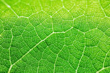 Photo sur Plexiglas Macro photographie Grape leaf texture, bright green color in sunlight. Macro