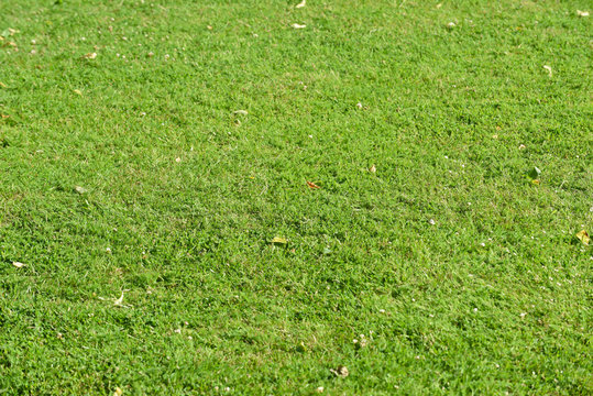 Green grass lawn texture to use for grass background