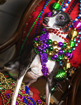 italian greyhound dog celebrates mardi gras with beads
