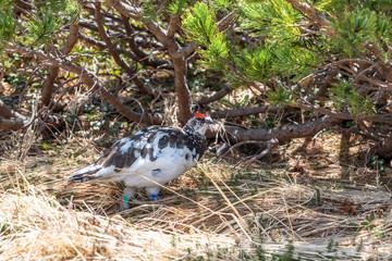 Ptarmigan or Raicho bird at Tateyama Kurobe Alpine Route.