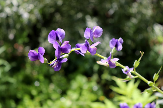 Baptisia australis, commonly known as blue wild indigo or blue false indigo in the garden. It is The seeds may be toxic.