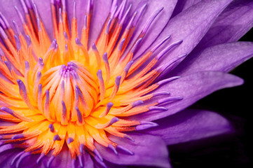 Wall Murals Water lilies Purple Water Lily, Purple Lotus macro shot showing pistil and stamen isolated on black
