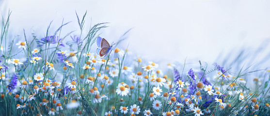 Foto op Canvas Bloemen Beautiful wild flowers chamomile, purple wild peas, butterfly in morning haze in nature close-up macro. Landscape wide format, copy space, cool blue tones. Delightful pastoral airy artistic image.