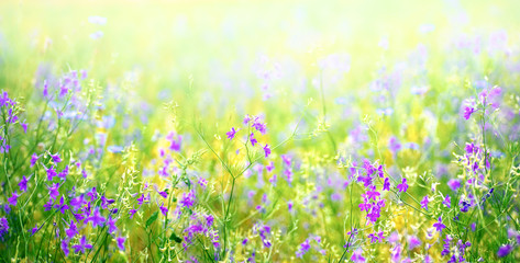 Wall Mural - Nature abstract background wild blossoming green grass flowers in field meadow close-up soft focus. Beautiful summer nature landscape, violet yellow juicy colors, copy space.